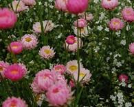 Acroclinium roseum  (Immortelle d'Australie )