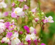 Linaria maroccana 'Pretty in Pink' (vlasleeuwenbekje)