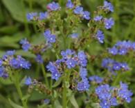 Anchusa officinalis (gewone ossentong)