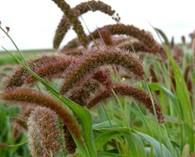 Setaria italica 'Red Jewel'  (millet)