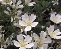 Limnanthes douglasii 'Nivea' (oeufs dans le plat)