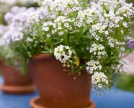 Lobularia  (Alyssum) 'Magic Circle Mix' (schildzaad)
