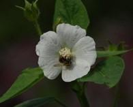 Anoda cristata 'Alba' (straalvrucht)