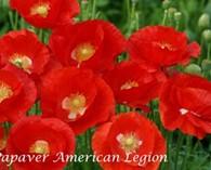 Papaver rhoeas 'American legion' (coquelicot)