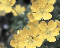 Limnanthes douglasii 'Sulphurea' (oeufs dans le plat)