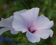 Lavatera trimestris 'New Dwarf Pink Blush'