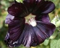 Alcea  'Jet Black' (rose tremière)
