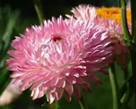 Helichrysum bracteatum 'Sylvery Roze' (immortelle)