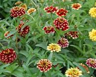Zinnia angustifolia 'Jazzy Mix'