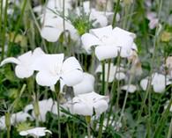 Agrostemma gracilis 'Snow Queen' (nielle des blés)