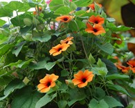 Thunbergia alata `Susy Red Orange` (Suzanne aux yeux noirs' )