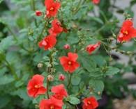 Alonsoa meridionalis 'Scarlet'