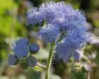 Ageratum  'Old Grey' -  (floss flower)