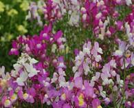 Linaria maroccana 'Fairy bouquet' (vlasleeuwenbekje)