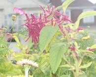Amaranthus caudatus  (kattenstaartamarant)