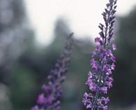 Linaria purpurea (linaire pourpre)