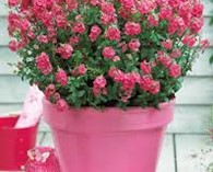 Diascia Sundiascia Rose Pink