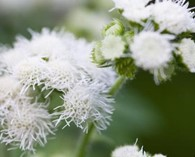 Ageratum 'White Bouquet' (leverbalsem)