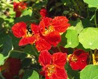 Tropaeolum majus 'Crimson Emperor'