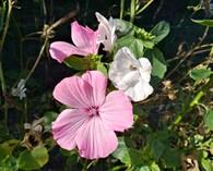 Lavatera trimestris 'Pink & White'