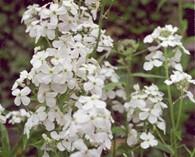 Lunaria annua 'Alba' (judaspenning)
