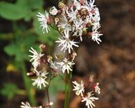 Lychnis flos-cuculi 'Albiflora'