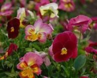 Viola wittrockiana 'Summer berries' (viooltje)