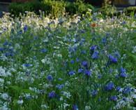 Mix 'Blue Garden'