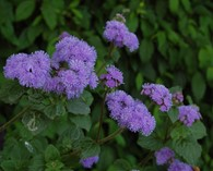 Ageratum h. 'Market Growers Blue'