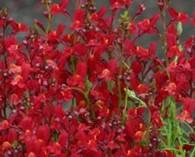 Linaria maroccana 'Licilia Red' (vlasleeuwenbekje)