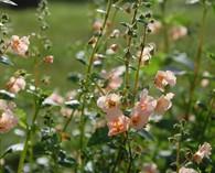 Alonsoa meridionalis 'Peach'