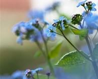 Anchusa capensis 'Blue Angel' (Kaaps' vergeet-me-nietje)
