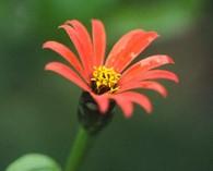 Zinnia peruviana 'Red Spider'