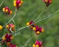 Linaria reticulata 'Flamenco' (linaire)