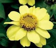 Zinnia 'Zahara Single Yellow'