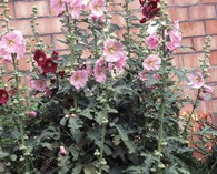 Alcea rosea 'Simplex' (rose tremière)