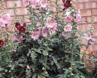 Alcea rosea 'Simplex' (stokroos)