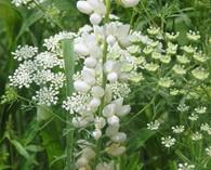 Lupinus 'Biancaneve' (witte lupine)