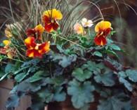 Viola wittrockiana hiemalis mixed (pensées d'hiver)