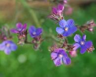 Anchusa azurea 'Dropmore' (ossentong)