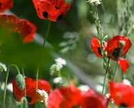 Papaver commutatum 'Ladybird' (coquelicot)