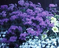 Ageratum  'Everest Blue' (agérate)