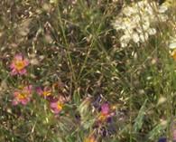 Agrostis nebulosa