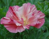 Eschscholzia 'Rose Bush'