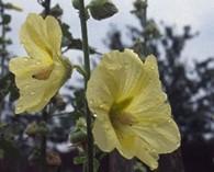 Alcea rugosa (rose tremière)
