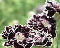 Dianthus 'Black & White Minstrels'