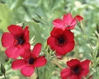 Linum grandiflorum 'Rubrum' (lin rouge)